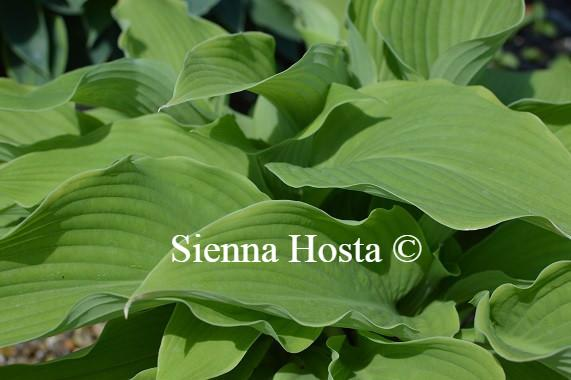 Hosta Abba Dabba Do