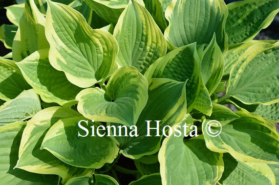 Hosta 'Angel Feathers'