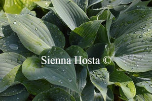 Hosta Valley's Vanilla Sticks