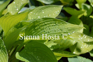 Hosta 'Ultraviolet Light'