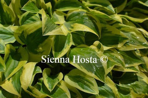 Hosta Thumbelina