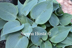 Hosta Blue Moon