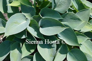 Hosta Buckshaw Blue
