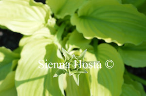 Hosta 'Birchwood Ruffled Queen'