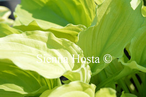 Hosta Birchwood Ruffled Queen