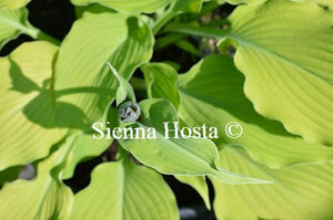 Hosta Choo Choo Train
