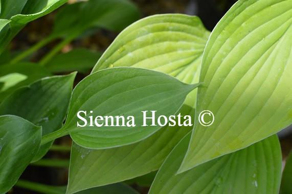 Hosta Teaspoon