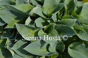 Hosta Peter Pan