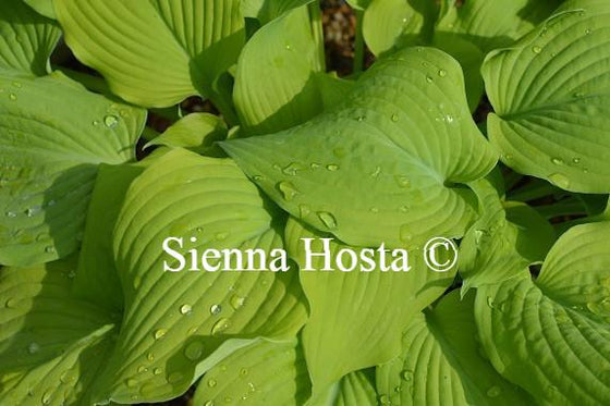 Hosta Piedmont Gold