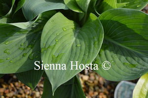 Hosta 'Prince of Wales'