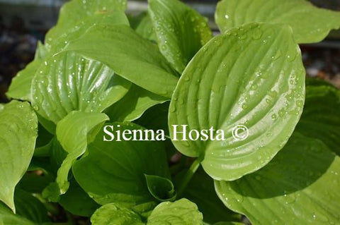 Hostas For Full Sun Sienna Hosta