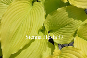 Hosta Dancing Queen
