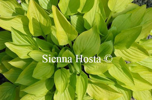 Hosta Golden Scepter