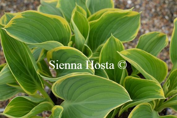 Hosta 'Clifford's Forest Fire'