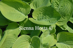 Hosta Friendship