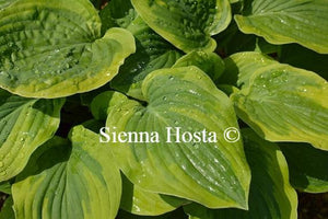 Hosta August Beauty