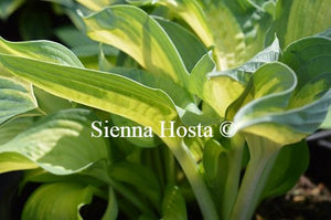 Hosta Lonesome Dove
