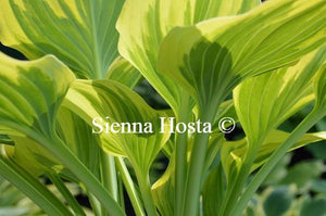 Hosta Magic Fire Stems