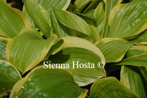 Hosta 'Bill Brincka'