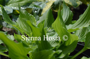 Hosta 'Bridegroom'