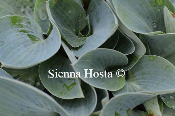 Hosta Bill Dress's Blue