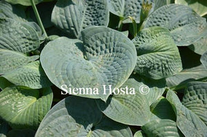 Hosta Clear Fork River Valley