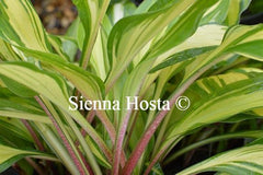 Hosta Cherry Berry Red Stems