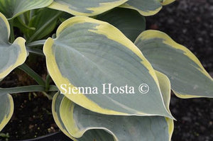 Hosta Battle Star