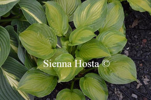 Hosta Adorable