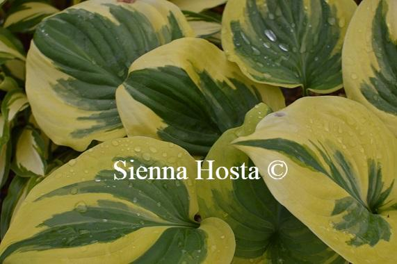 Hosta Fragrant Queen