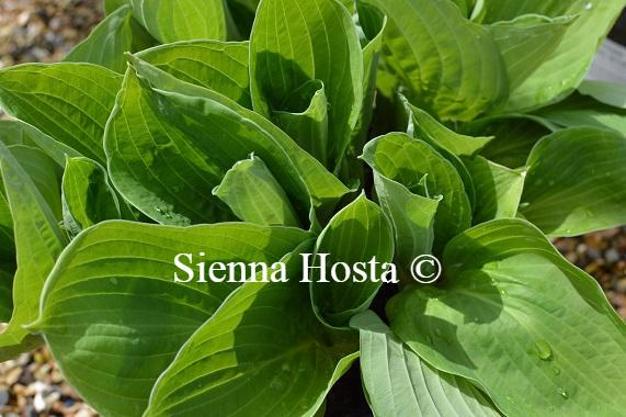 Hosta Big Top