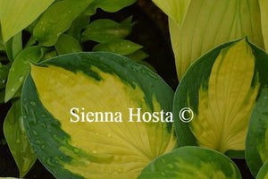 Hosta Georgia Sweetheart