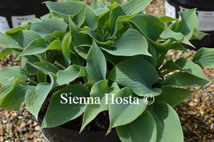 Hosta Blue Edger