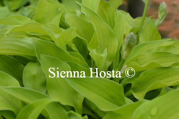 Hosta Ground Sulphur