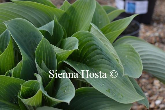 Hosta Blue Mammoth