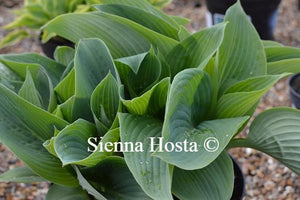Hosta Blue Mammoth Sienna Hosta