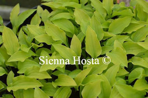 Hosta Golden Woge