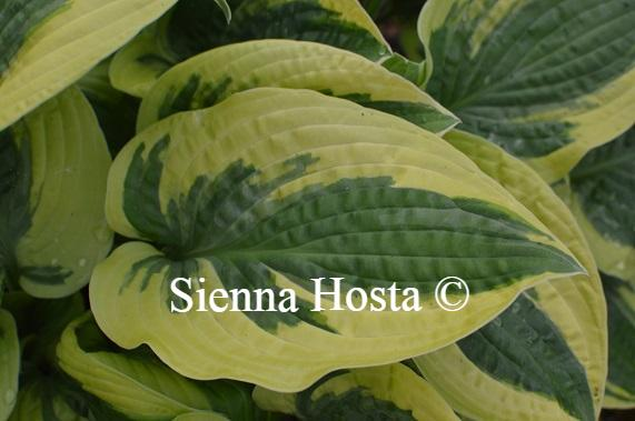 Hosta Honey Song