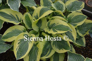 Hosta Honeysong