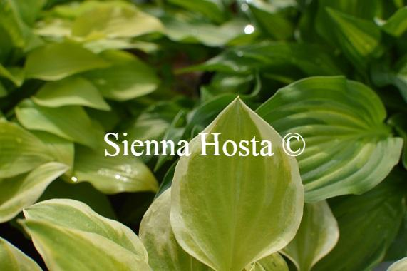 Hosta Heavenly Tiara
