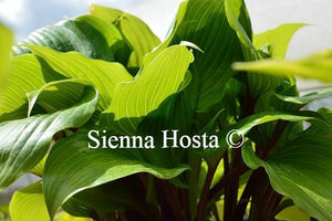 Hosta One Man's Treasure
