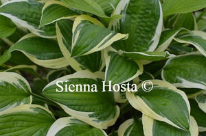 Hosta 'Ivory Necklace'