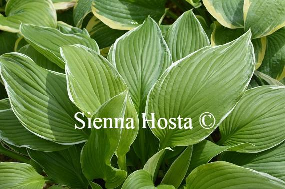 Hosta Mountain Snow