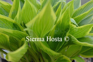 Hosta Fatal Attraction