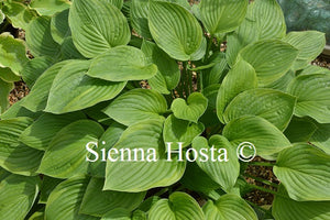 Hosta Mountain Green