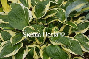 Hosta Olympic Glacier