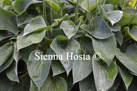 Hosta Purbeck Mist
