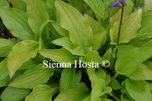 Hosta Purple and Gold