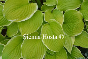 Hosta Sea Dream