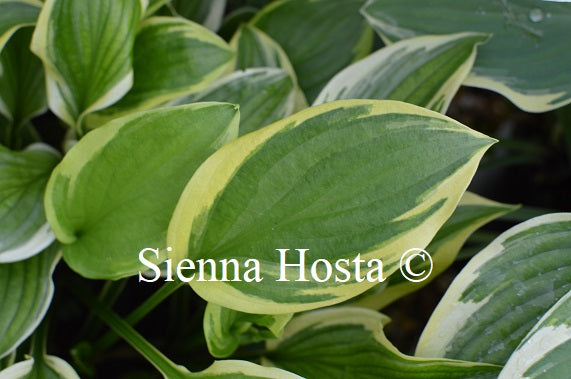 Hosta 'So Sweet' 5x Bundle